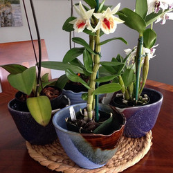 Went to the Hawaii Kai orchid show this morning then repurposed some ramen bowls