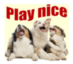 "My dog plays too rogh. Three happy australian shepherd puppies. ""Play nice"""