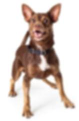 Brainy Dog happy excited chihuahua.jpg