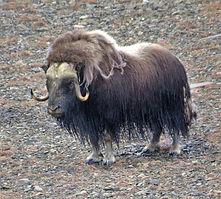כבש הרעמה מפגין עוצמה. צילום רונית ישראל