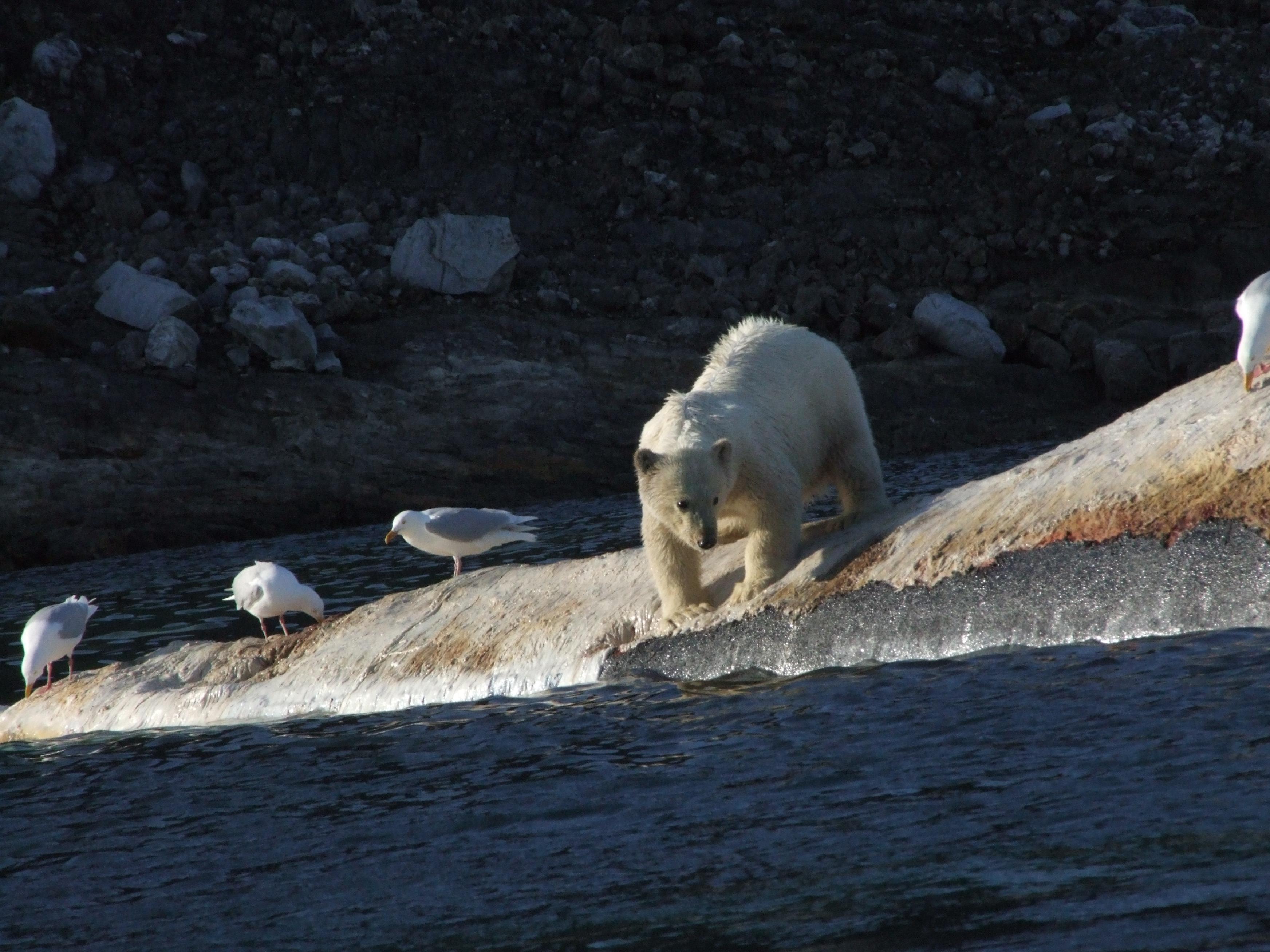 ארכיפלג סבאלברד - הקוטב הצפוני