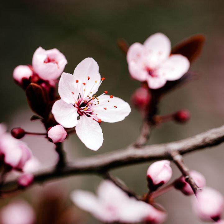 cherry-blossom-fragrance.jpg