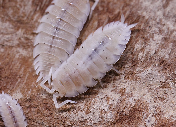 Porcellio scaber White Out