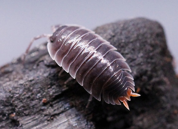 Porcellio sp. Red Butt