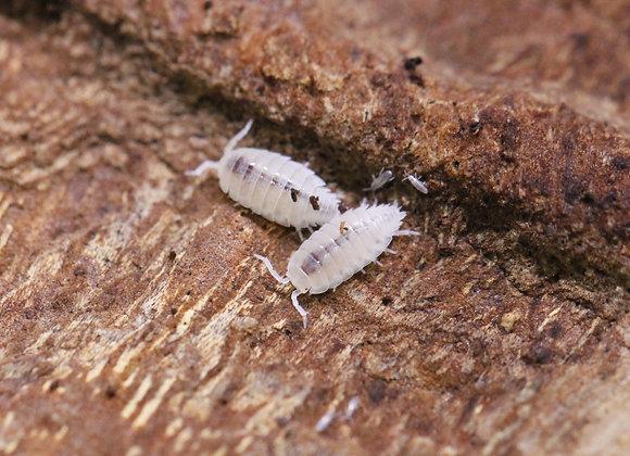 Trichorhina tomentosa - Dwarf White (bulk)