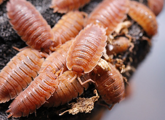 Porcellio scaber Giant Orange (Bulk)