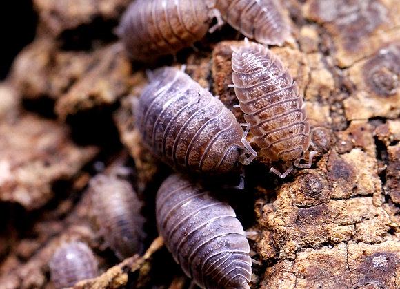 Porcellio dilatatus (Bulk)