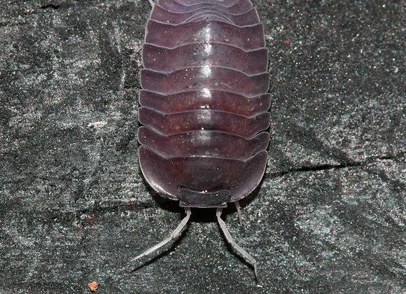 Cubaris sp. Purple Giant