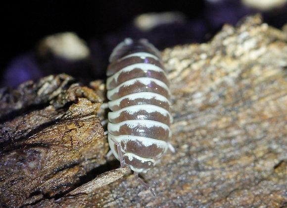 Armadillidium maculatum Chocolate