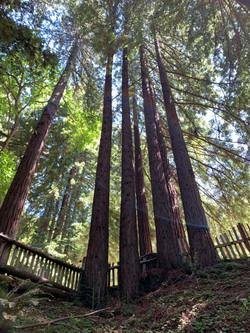 CG Tree towering fence