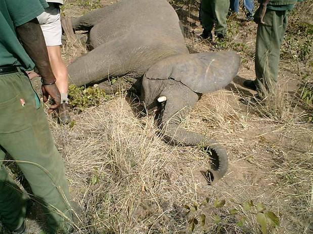 Copy of ElephantCap17.jpg