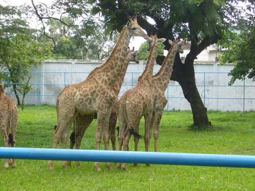 BD giraffe.JPG