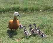 ruddy s duck babies.jpg