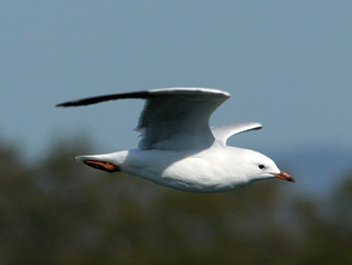 Shortlisted for Silver Gull Play Award