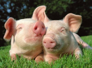 Guest Post: Feng Shui Bliss with the Happy Pig and Wild Boar