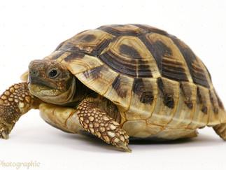 Tortoise: Symbol of Good Fortune
