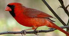 cardinal-cover photo.jpg