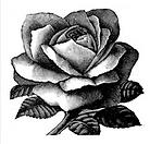 rose woodcut.png