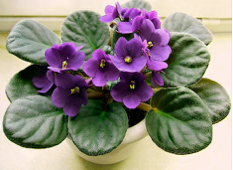 Violets in the Bedroom