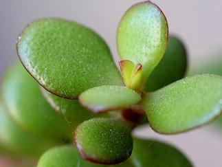 Jade plants hold a secret