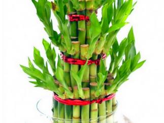 Bamboo: A Symbol of Good Luck
