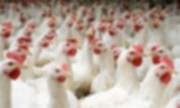 Chicken picture.jpg