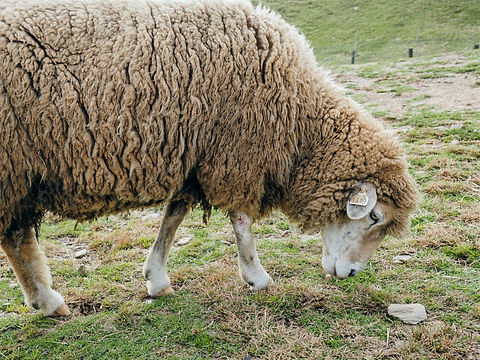 brown%20sheep_edited.jpg