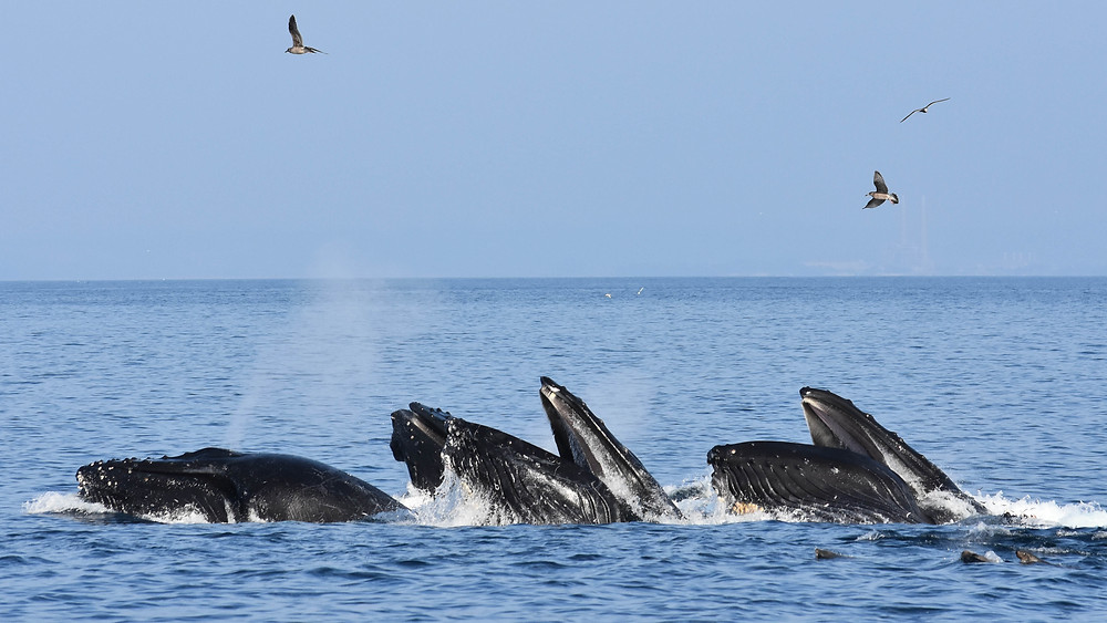 A pod of whales showing off like whales do.