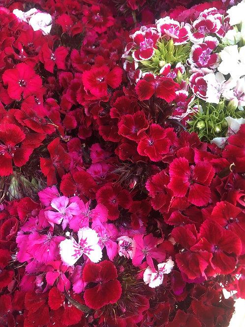 Sweet William (plants)