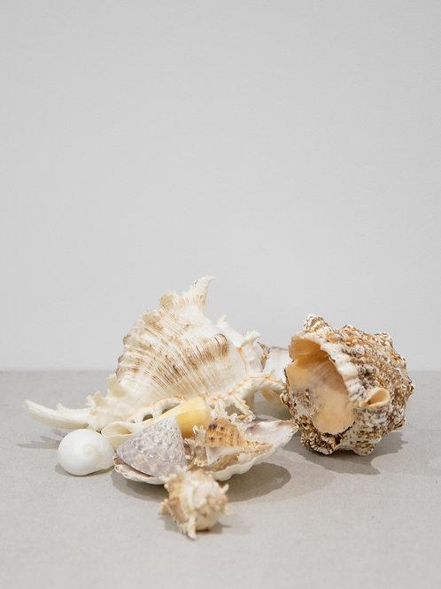Conch Seashells (Large)