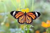 borboleta-laranja-em-flores-laranja-cosm