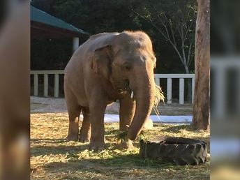 1月2日(土)パキスタンの「世界一孤独なゾウ」カンボジアで順調な新生活