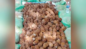 シェムリアップ市内中心部で大量の不発弾が発掘(7月10 日)