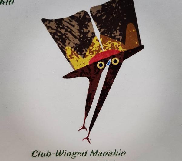 Club-Winged Manakin Pilcrow
