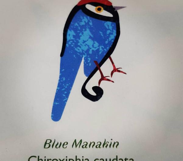 Blue Manakin-Pilcrow