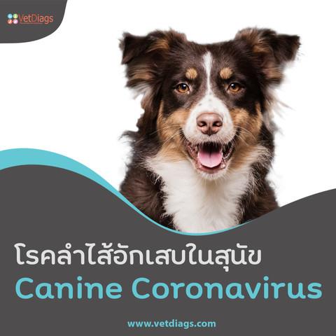 รู้จักกับ Canine Coronavirus (CCV) โรคร้ายแรงที่สุนัขมักเป็นบ่อย