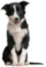 kisspng-border-collie-puppy-pet-sitting-