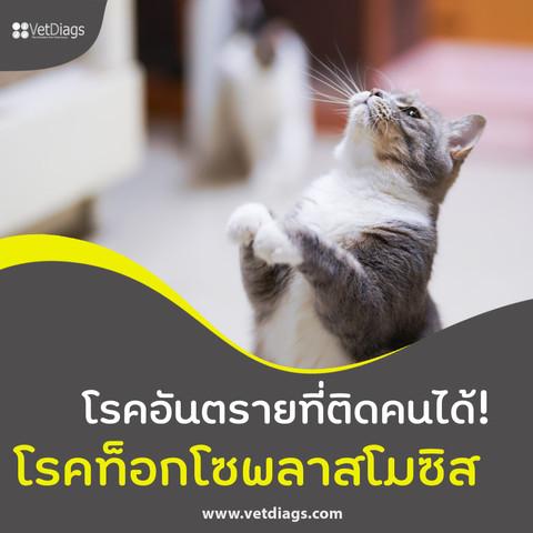 โรคท็อกโซพลาสโมซิส ในแมว โรคอันตรายที่สามารถติดสู่คนได้!!
