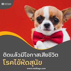 โรคไข้หัดสุนัข สี่เหลี่ยม.jpg
