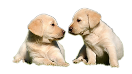 kisspng-labrador-retriever-golden-retrie