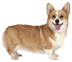 kisspng-pembroke-welsh-corgi-cardigan-we