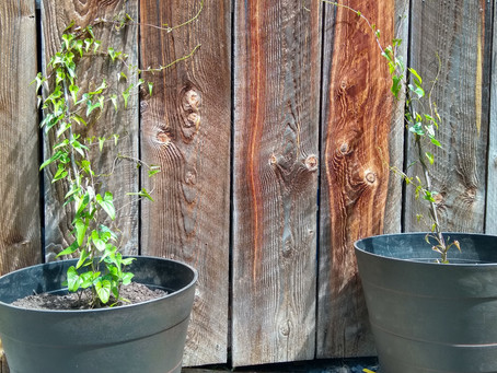 Permaculture Gardening and Landscaping: Yamaimo (Dioscorea japonica)