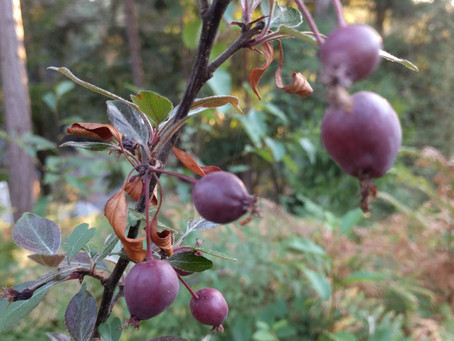 Permaculture Gardening and Landscaping: Apple Pollination Basics
