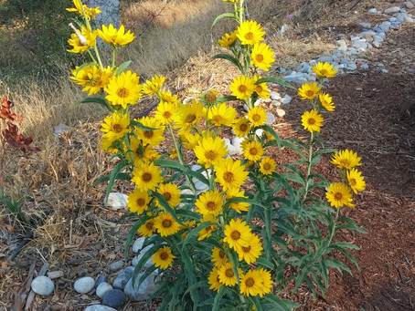 Permaculture's A-List Species: Helianthus maximiliani, A Perennial Sunflower