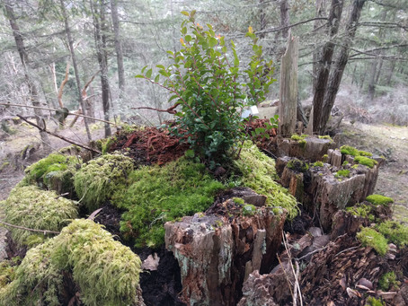 Permaculture Gardening and Landscaping: Using Stumps to Grow Native Food