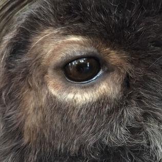 Close-up Detail of Muskox Eye