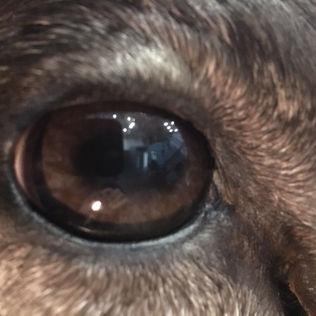 Close-up Detail Caribou Eye