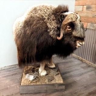 Musk Ox Half Life Size