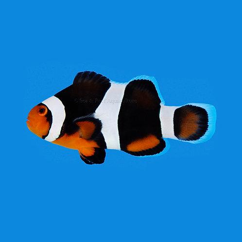 Black Photon Clownfish Pair