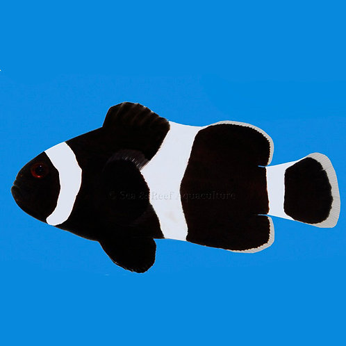 Black Darwin Clownfish